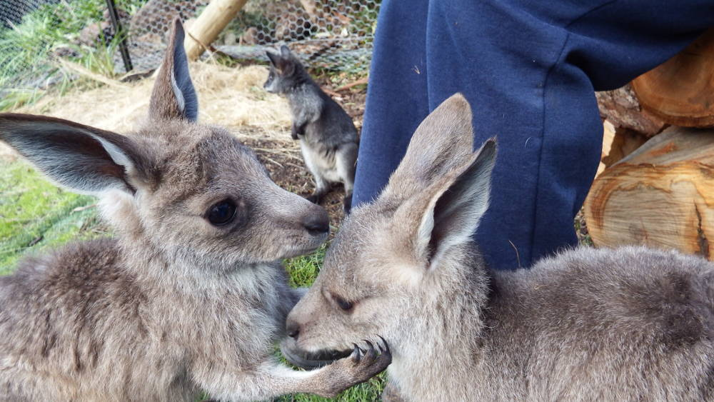 Looking after young joeys